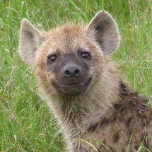 Happy-hyena-hyenas-31563531-385-358